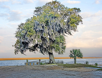 Oak and Palm, Daufuskie Island